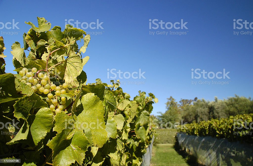 Vineayrd, grapes stock photo