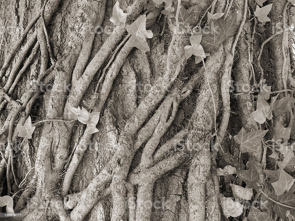 vines and ivy royalty-free stock photo