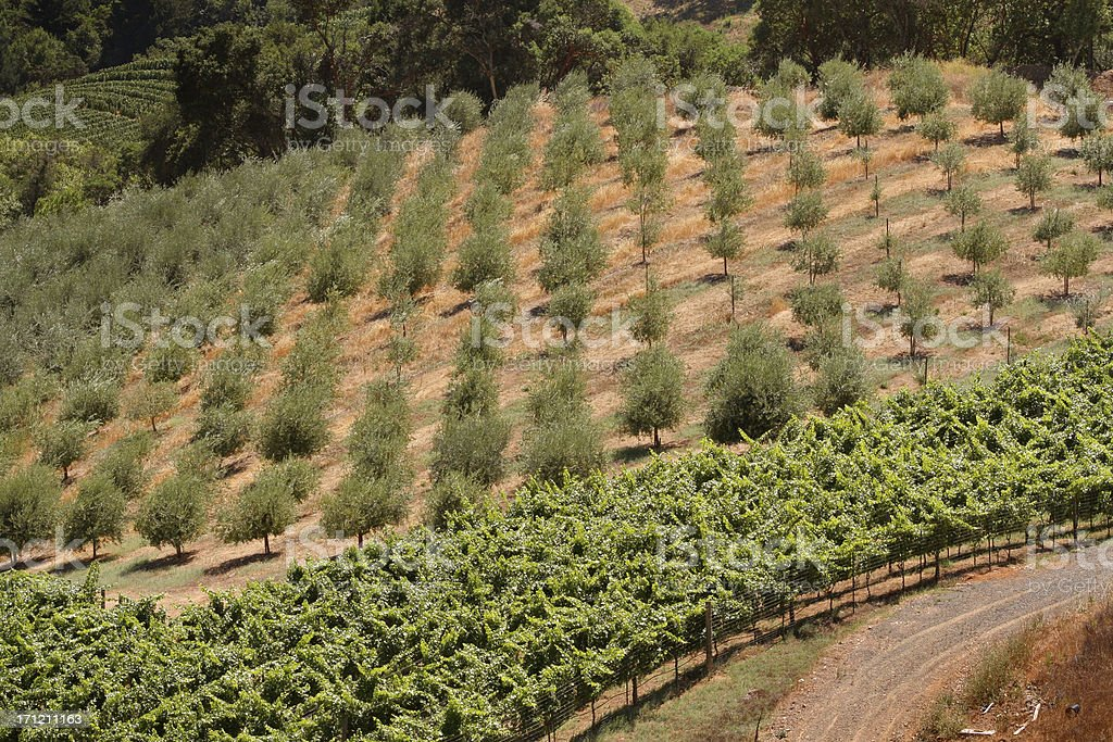 Vines and Olives royalty-free stock photo
