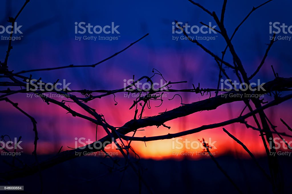 Vines and Sunset stock photo