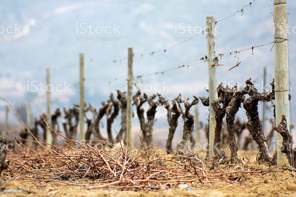 Vines and vine shoots stock photo