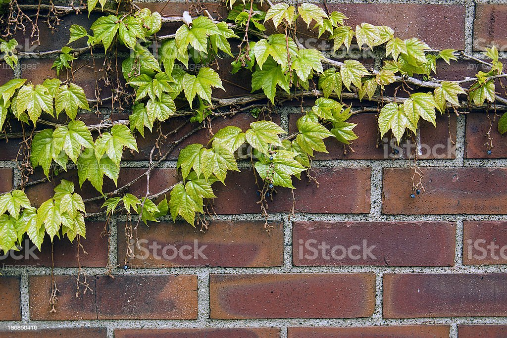 Vines & Brick royalty-free stock photo