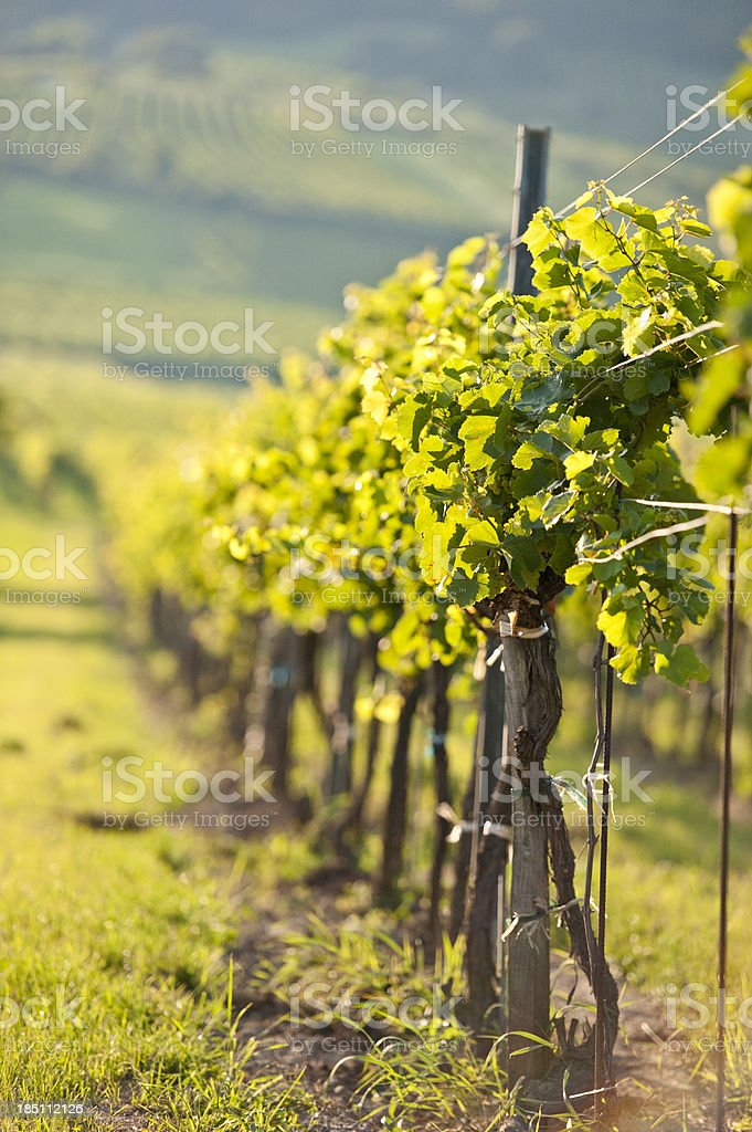vines in a row stock photo