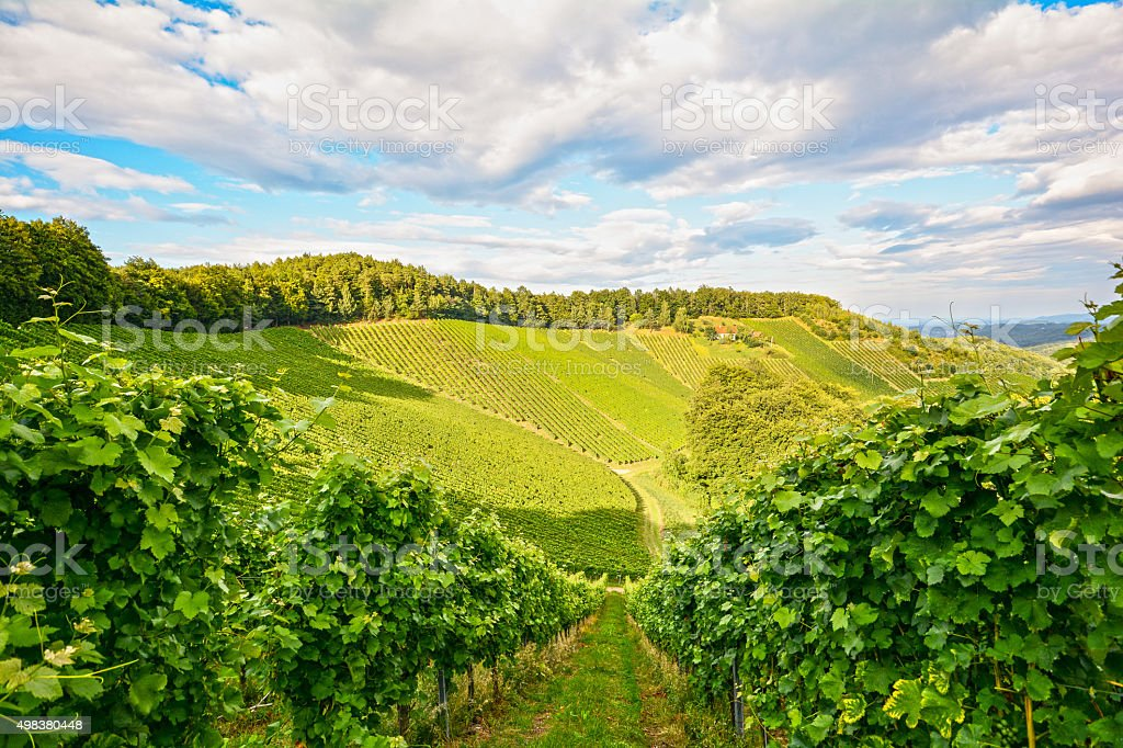 Vines in a vineyard in autumn, Wine grapes before harvest stock photo