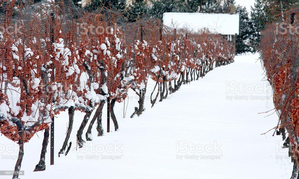 Vines in the Snow stock photo