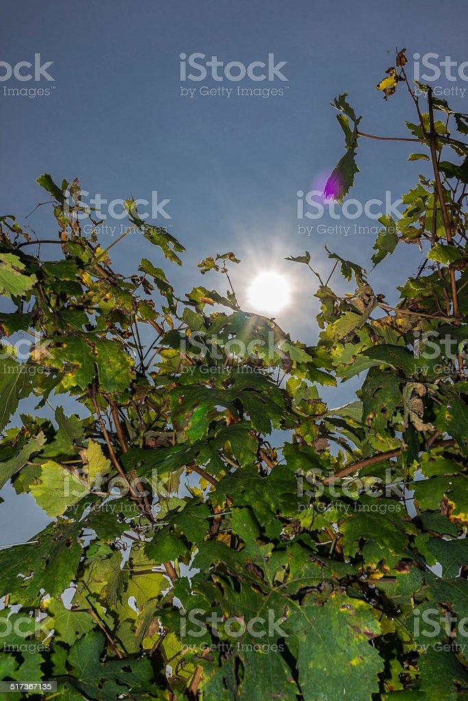 Vines in the sun in Langhe (Unesco World Heritage site) stock photo