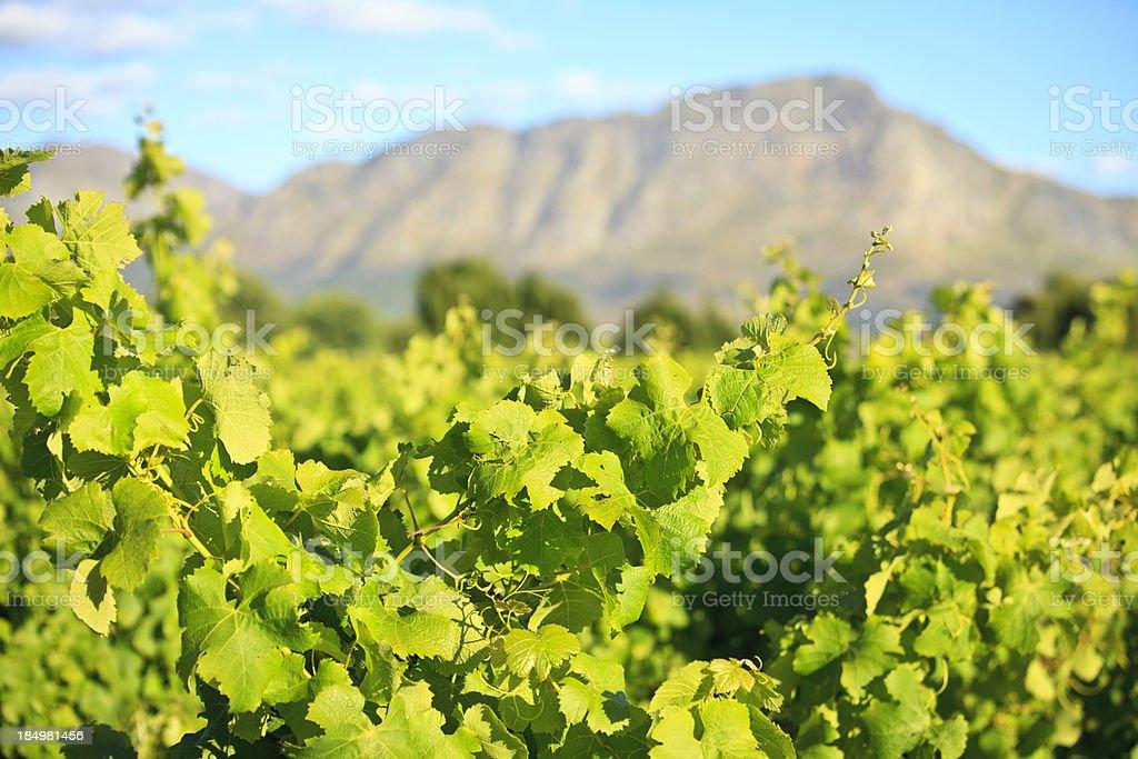 Vines in Vineyard Stellenbosch South Africa stock photo