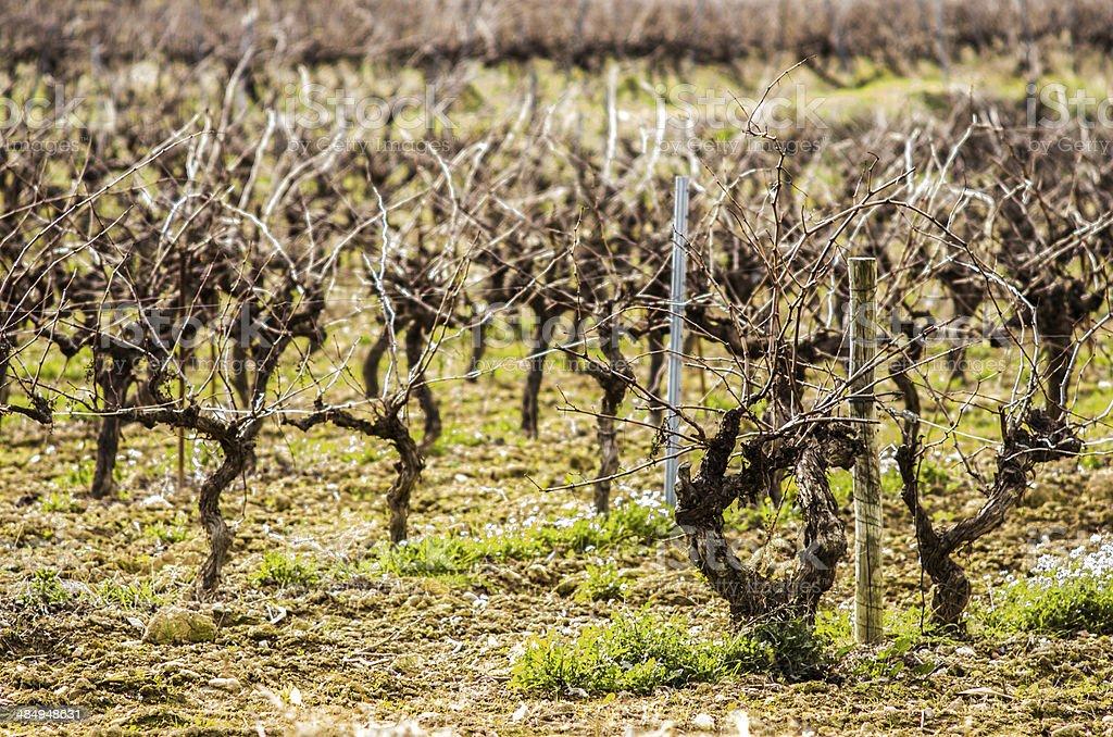 vines in winter stock photo