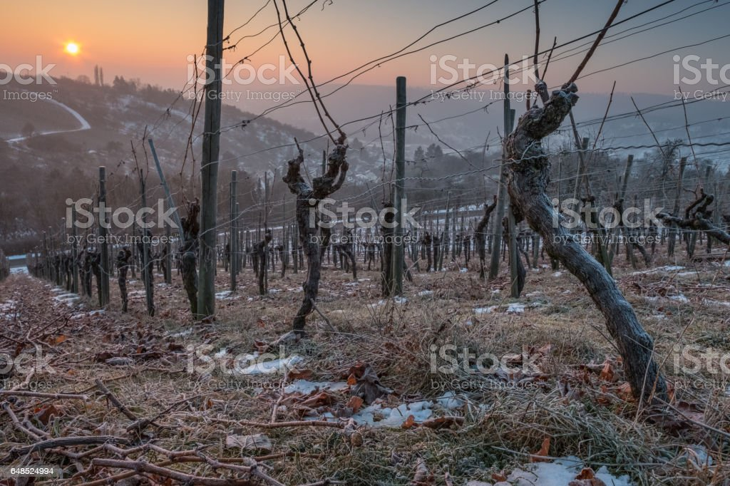 Vines in winter with ice and frost in a sunset stock photo