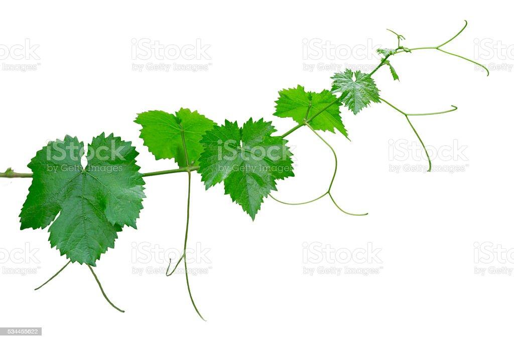 Vines isolated stock photo