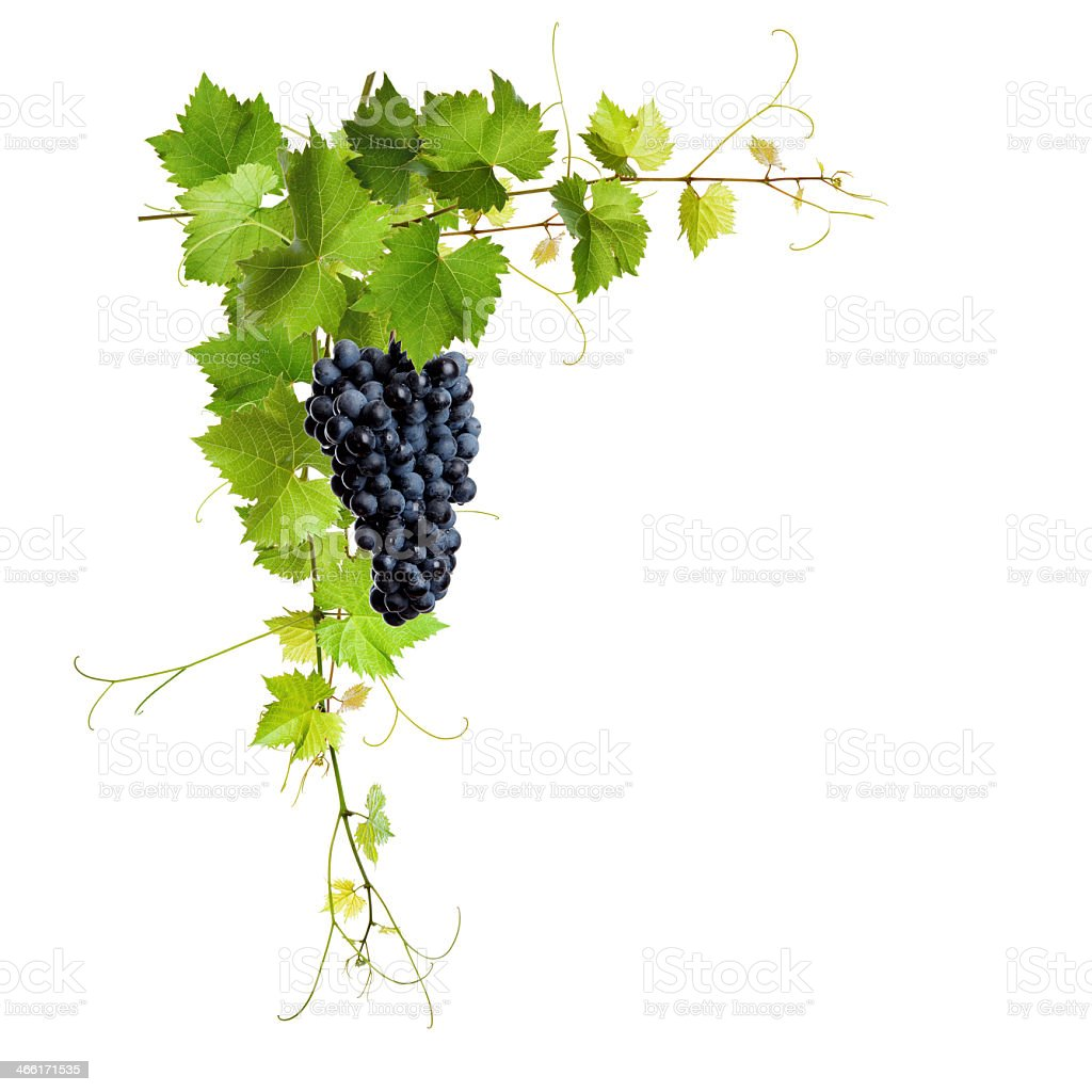 Vines leaves holding a bunch of grapes stock photo