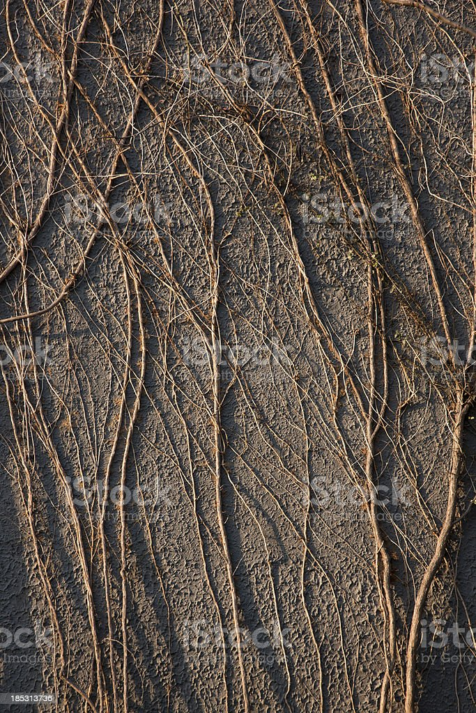 vines on the wall royalty-free stock photo