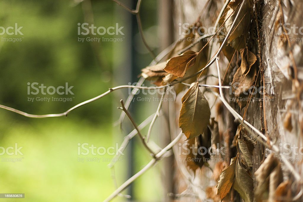 Vines royalty-free stock photo