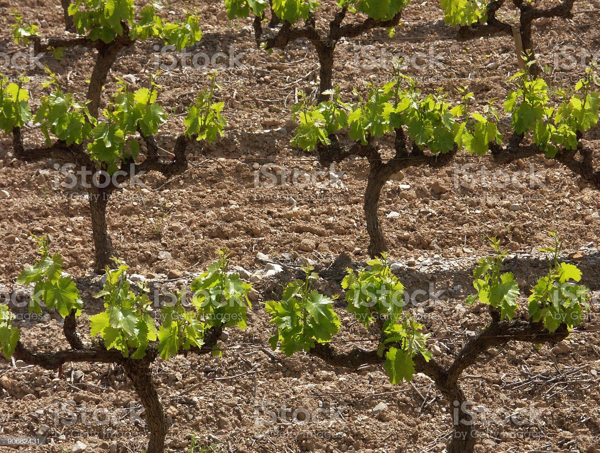 Vines royalty-free stock photo