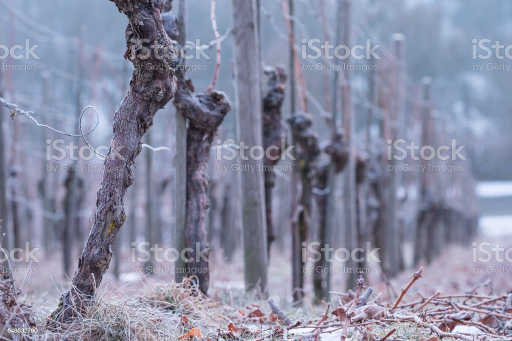 Vines with gnarled bark in a vineyard in winter stock photo