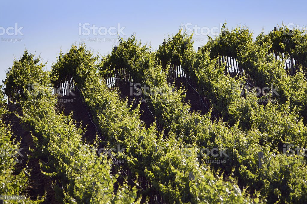 Vineyard Across the Hill stock photo