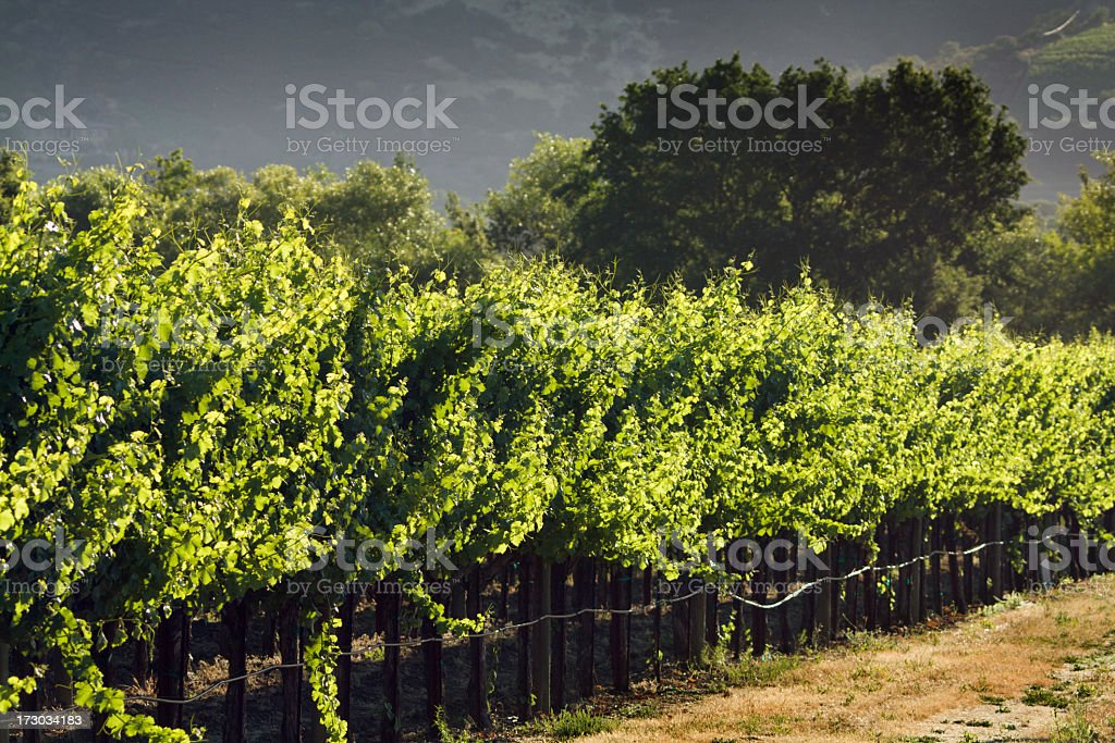 Vineyard Afternoon royalty-free stock photo