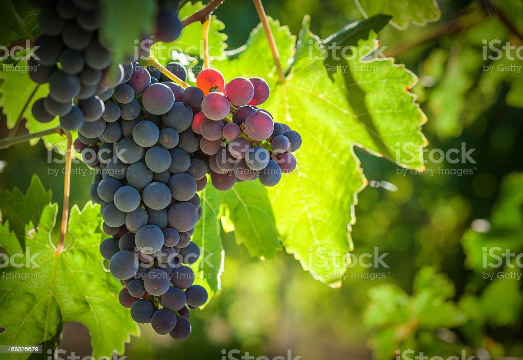 Vineyard Against Light stock photo