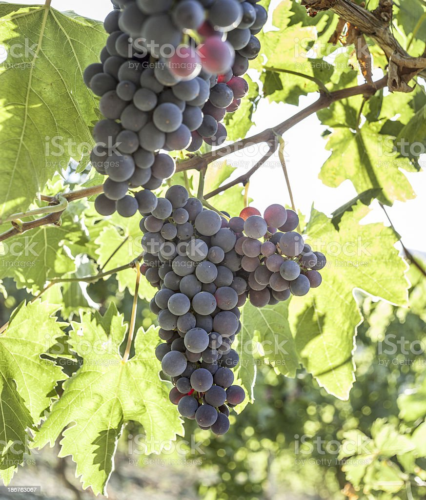 Vineyard Against Light, Vertical royalty-free stock photo