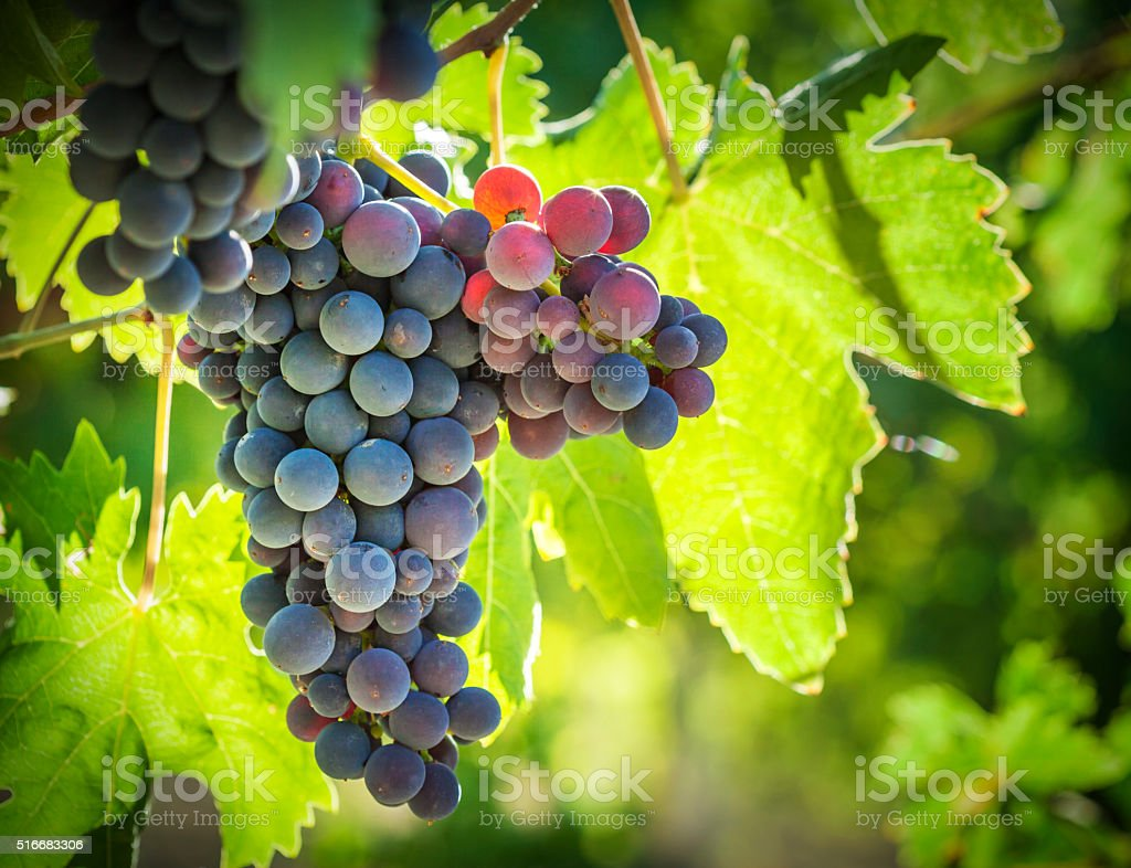 Vineyard Against Light, Vignette stock photo
