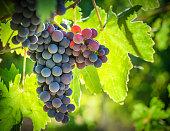 Vineyard Against Light, Vignette