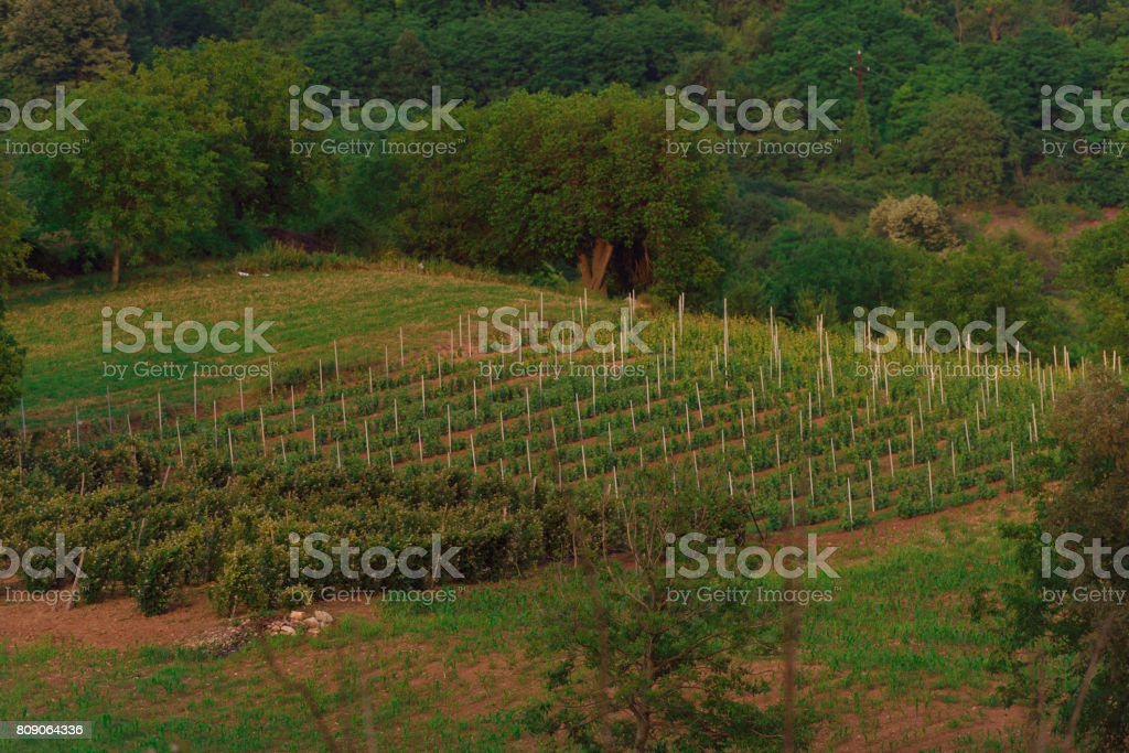 A vineyard and a bucket stock photo