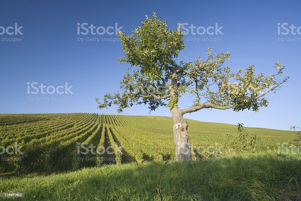 vineyard and apple tree royalty-free stock photo
