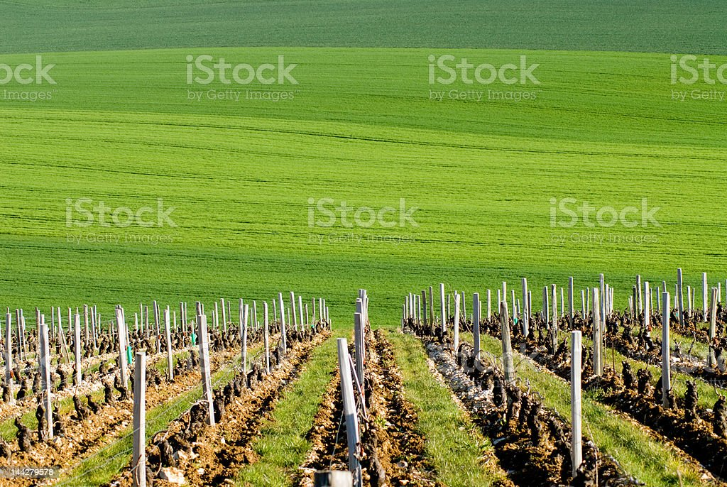 Vineyard and green field stock photo