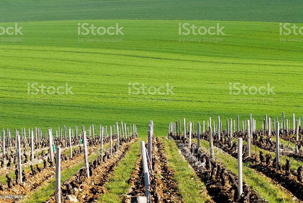 Vineyard and green field stock photo