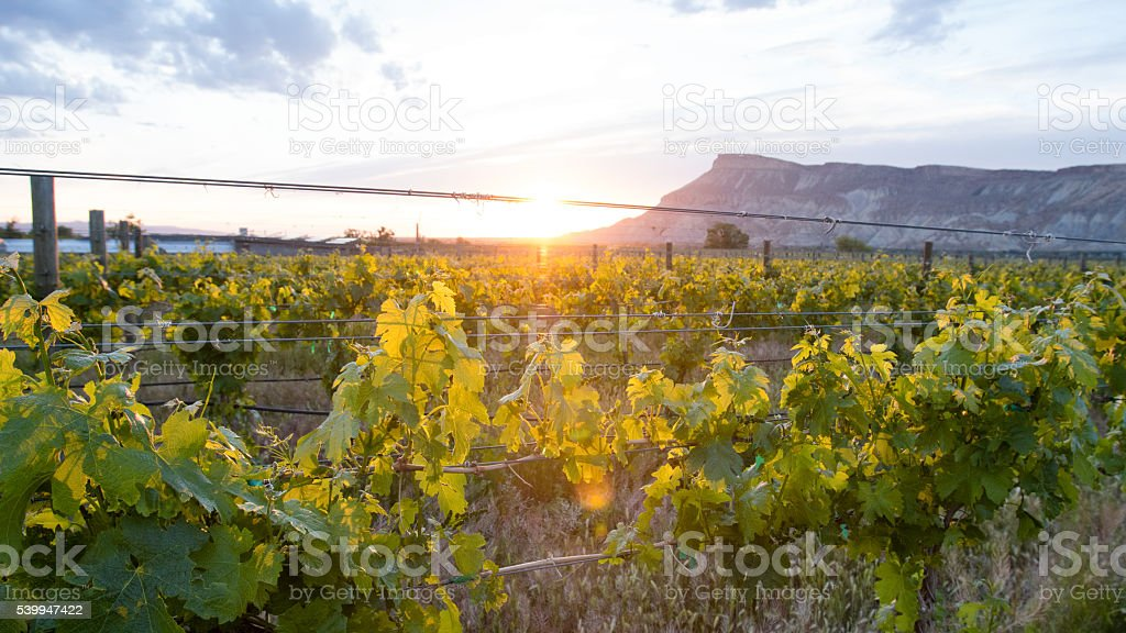 Vineyard and Mountain Range at Dusk under Cloudscape stock photo