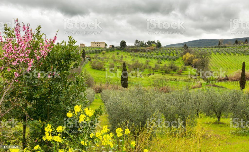 Vineyard and Olive grove royalty-free stock photo