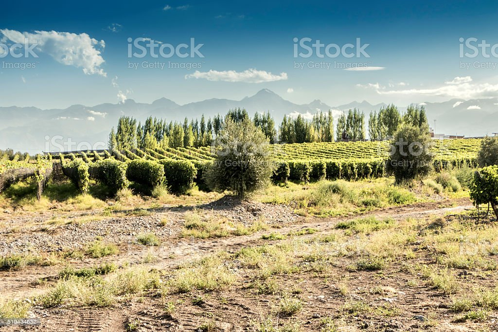 Vineyard and olive trees stock photo