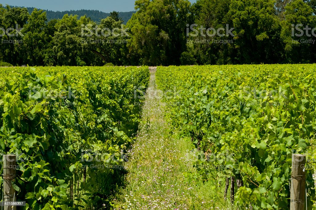 Vineyard and Wildflowers, Napa royalty-free stock photo
