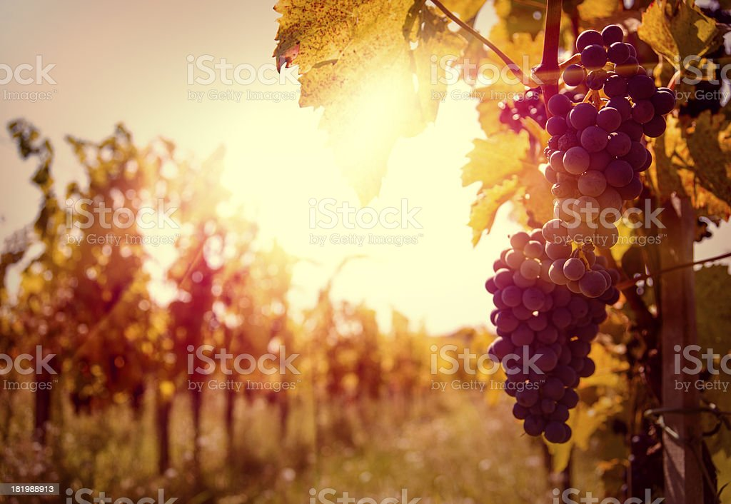 Vineyard at autumn harvest. stock photo