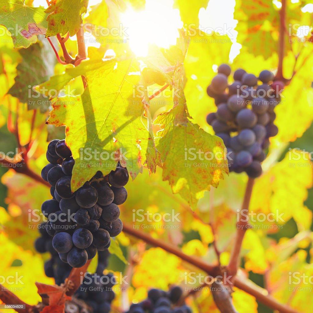 Vineyard at autumn harvest stock photo