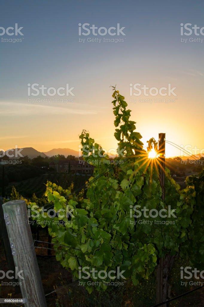 Vineyard at California winery during sunrise stock photo
