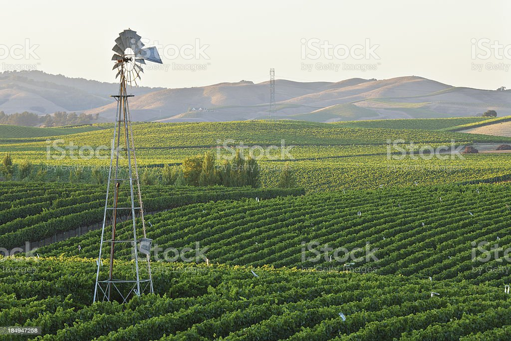 Vineyard at Dusk royalty-free stock photo