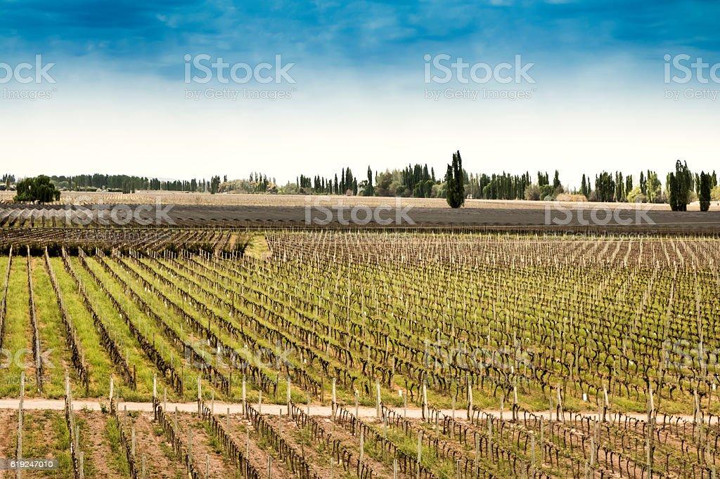 Vineyard at early springtime stock photo