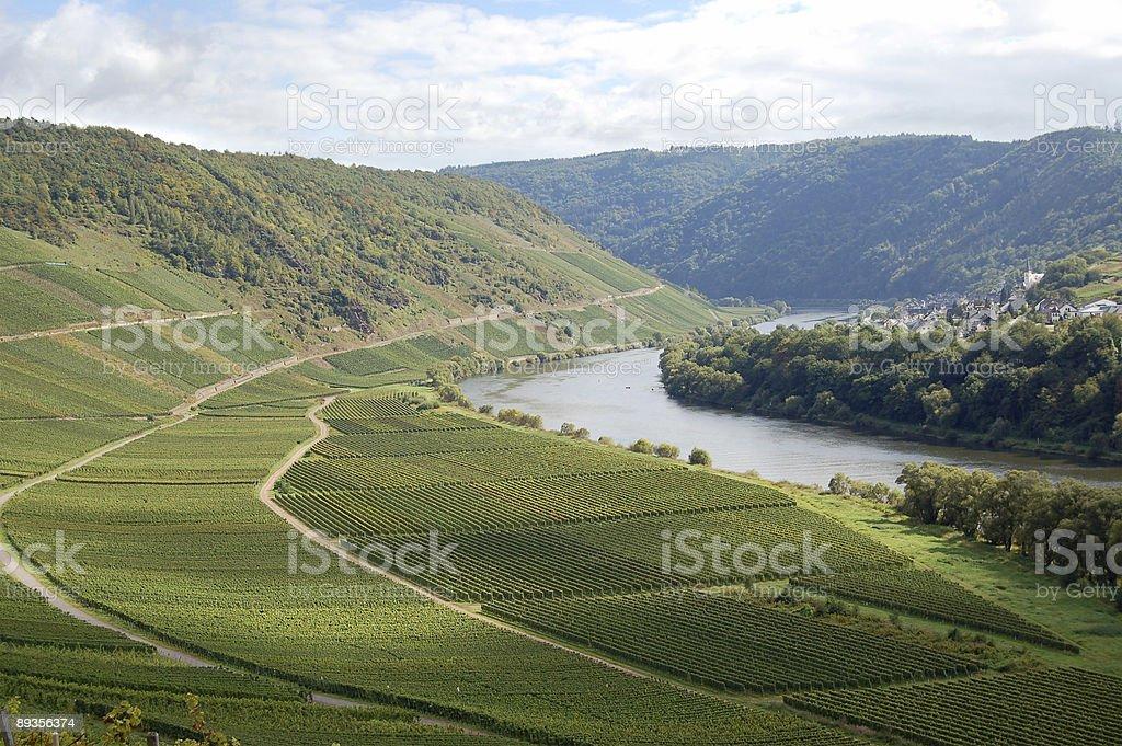 Vineyard at German Mosel river stock photo