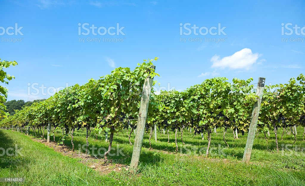 Vineyard at Harvest Time stock photo