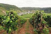 vineyard at mosel valley
