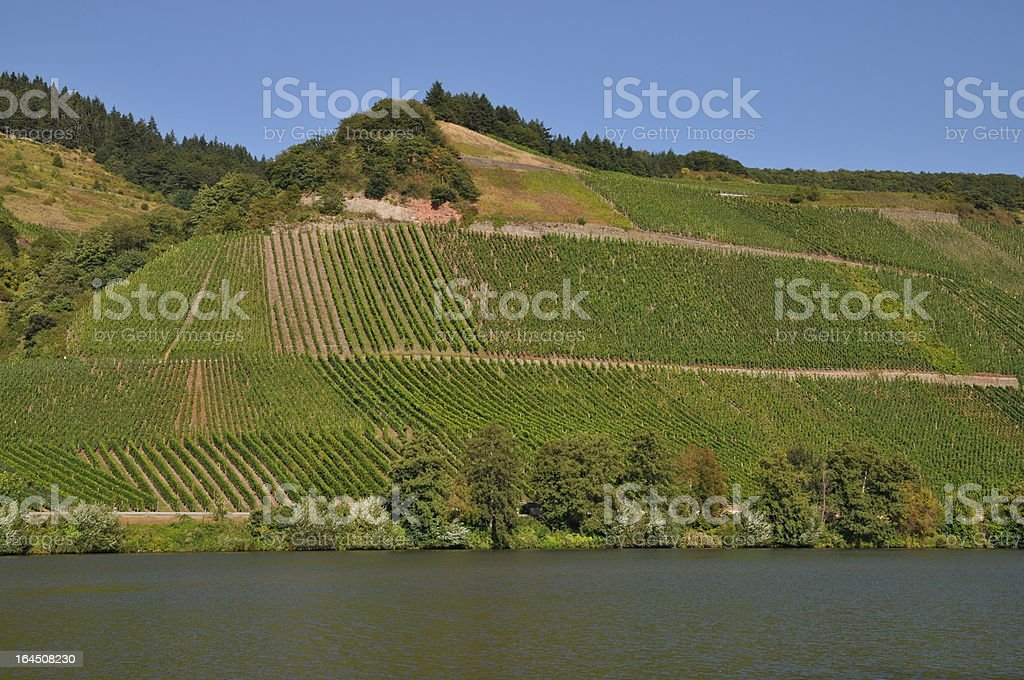 Vineyard at Moselle, germany royalty-free stock photo