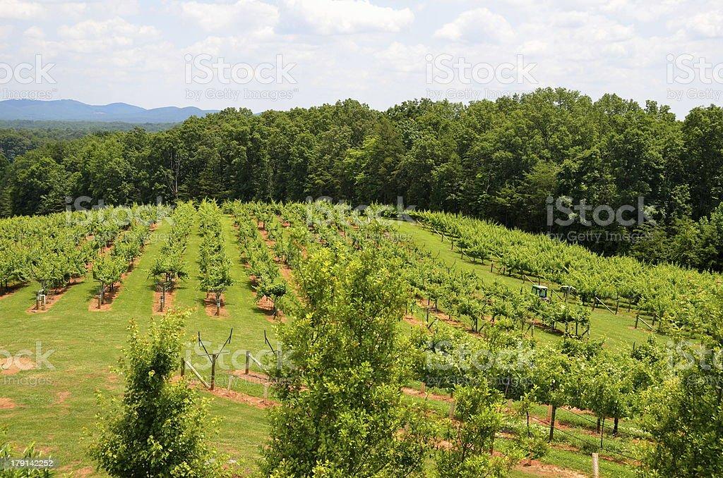 Vineyard at North Georgia royalty-free stock photo