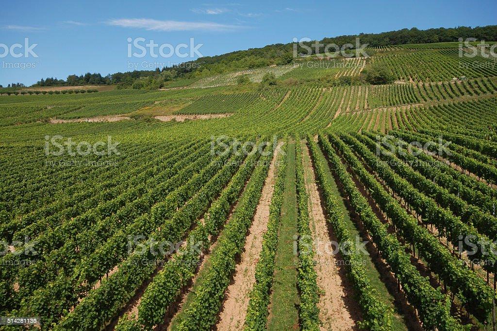 vineyard at Rhine river stock photo