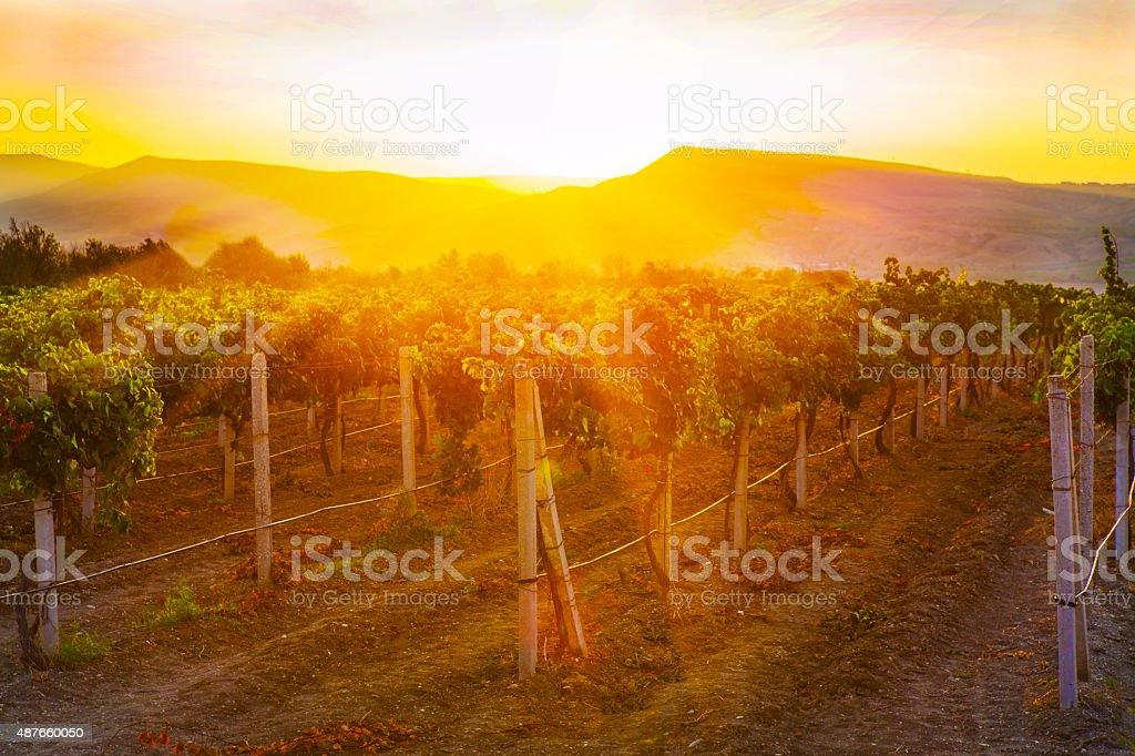 vineyard at sunrise stock photo