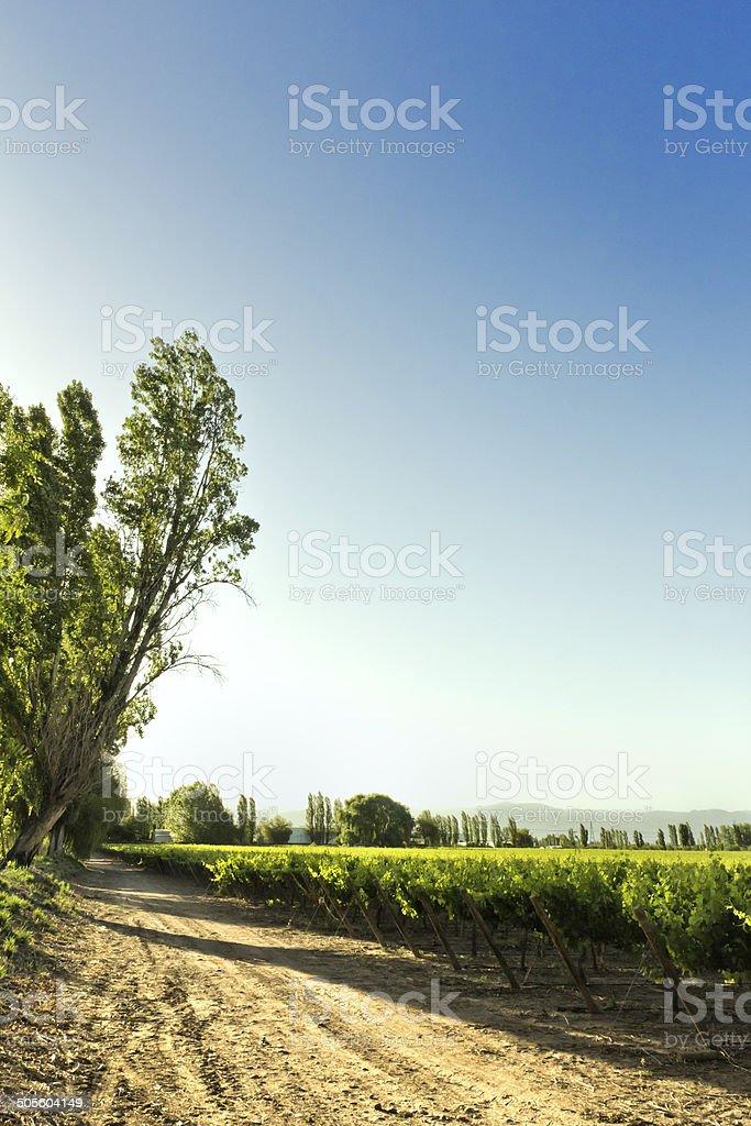 Vineyard at sunset royalty-free stock photo
