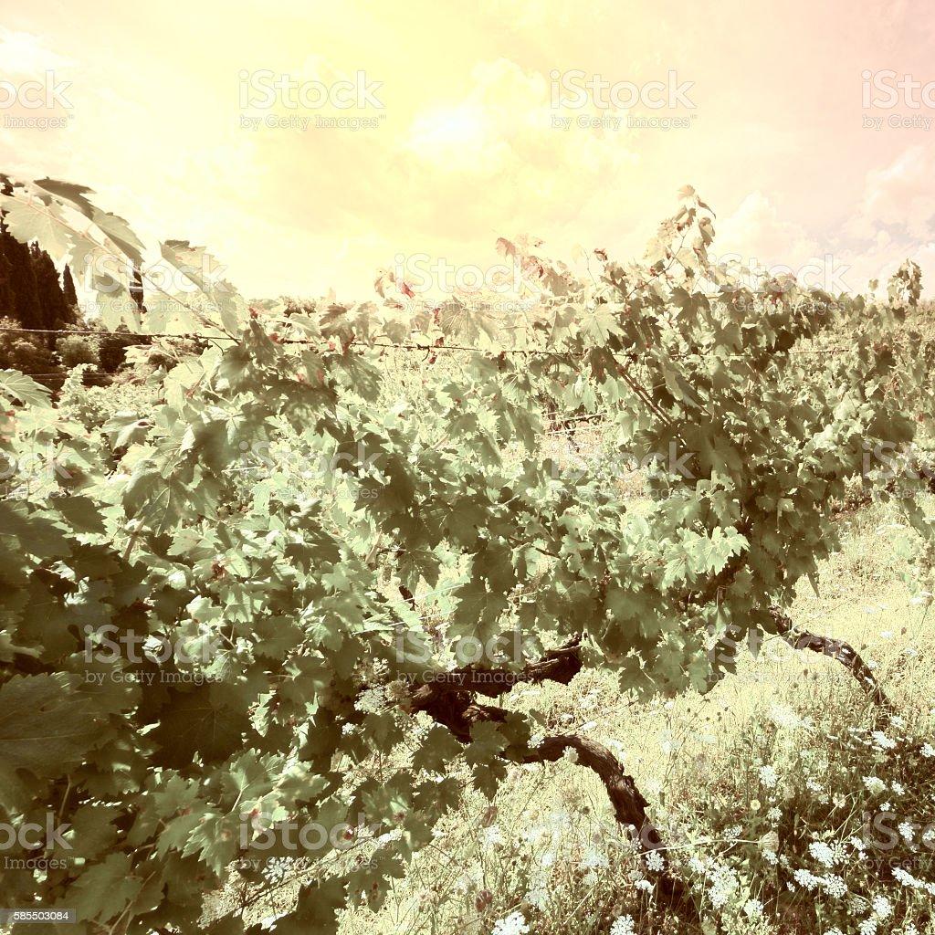 Vineyard at Sunset stock photo