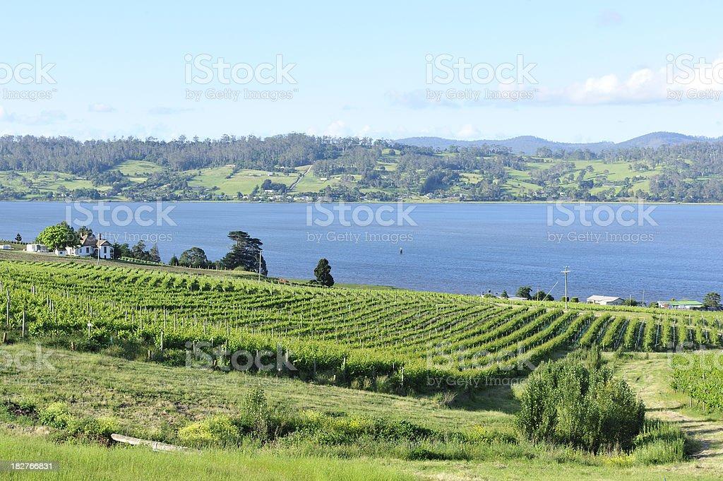 Vineyard at Tamar Valley stock photo