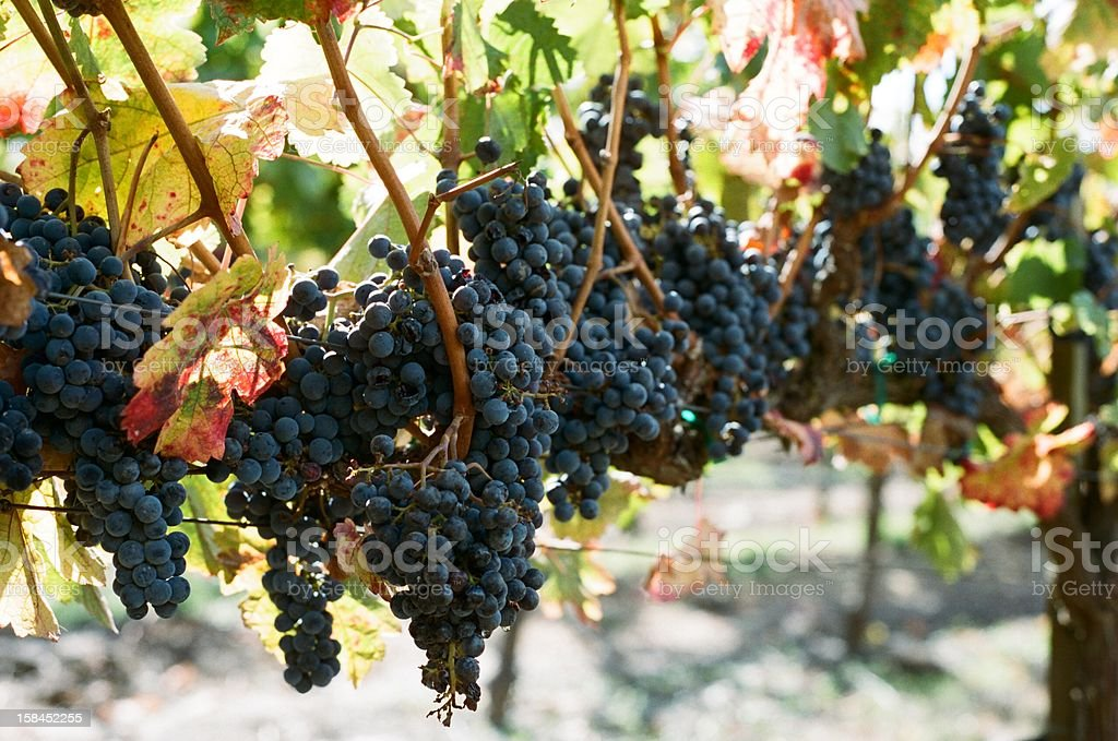 vineyard - autumn grapes royalty-free stock photo