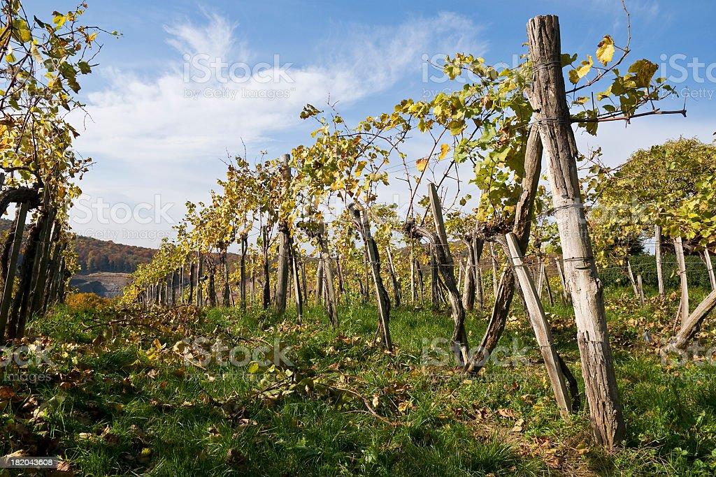 Vineyard - Autumn royalty-free stock photo